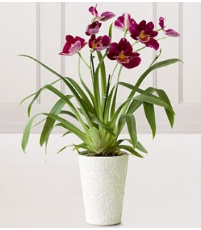 Hearts Warming Orchid Plant