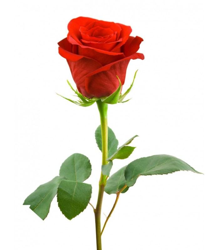 Pic of hd red rose flowers