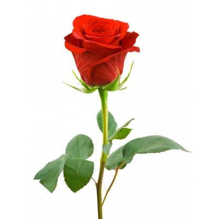 Single Red Rose Long-stem